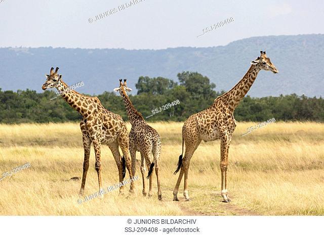 Giraffe (Giraffa camelopardalis). Three individuals standing in savannah. Masai Mara, Kenya