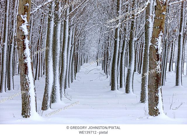 An image of an orchard of trees covered in snow during winter
