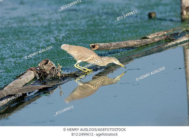 Chinese pond-heron (Ardeola bacchus), fishing, Thailand