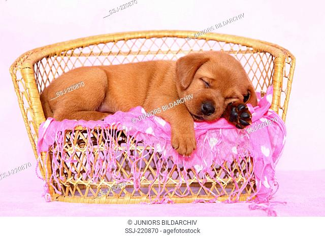 Labrador Retriever. Puppy (5 weeks old) sleeping on a wicker bench. Germany. Studio picture seen against a pink background