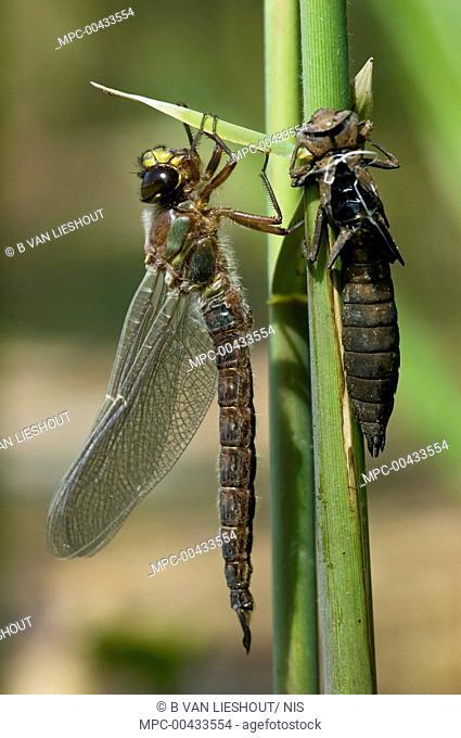 Hairy Dragonfly (Brachytron pratense) fully emerged from nymph, Erp, Noord-Brabant, Netherlands