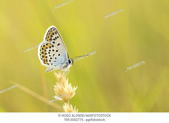 Butterfly. Aricia morronensis. (fam. Lycaenidae). La Rioja, Spain