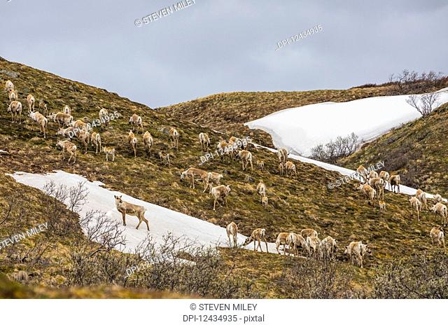 A herd of caribou (Rangifer tarandus), cows and young calves, climb a hill near Stony Dome in Denali National Park in early summer; Alaska