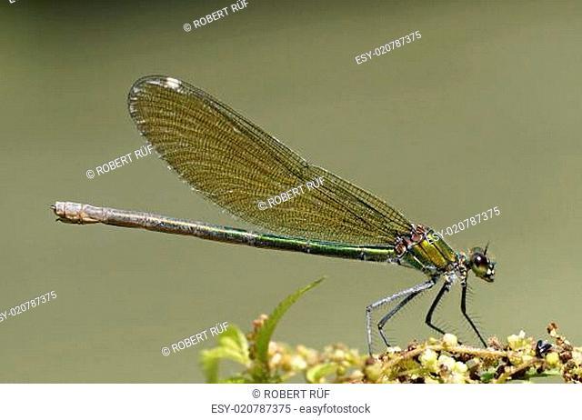 gebänderte Prachtlibelle - [calopteryx splendens]