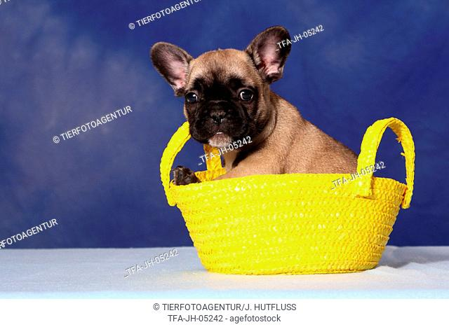 French Bull Puppy in bag