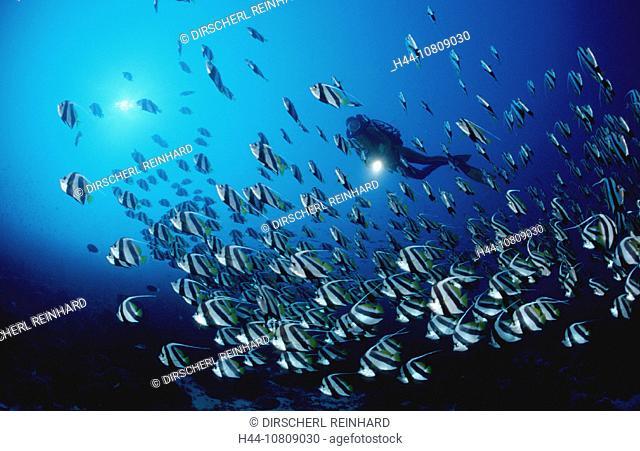 action, Ari atoll, diver, diving, Heniochus diphreutes, holiday, holidays, Indian ocean, live, Maldives Islands, mar