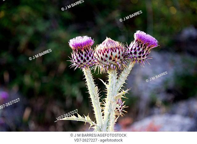 Illyrian thistle (Onopordum illyricum) ia a biennal herb native to southwestern Europe. Inflorescences detail. Angiosperms. Asteraceae