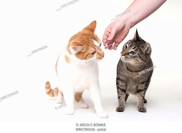 Domestic Cats getting treat / raw food, BARF
