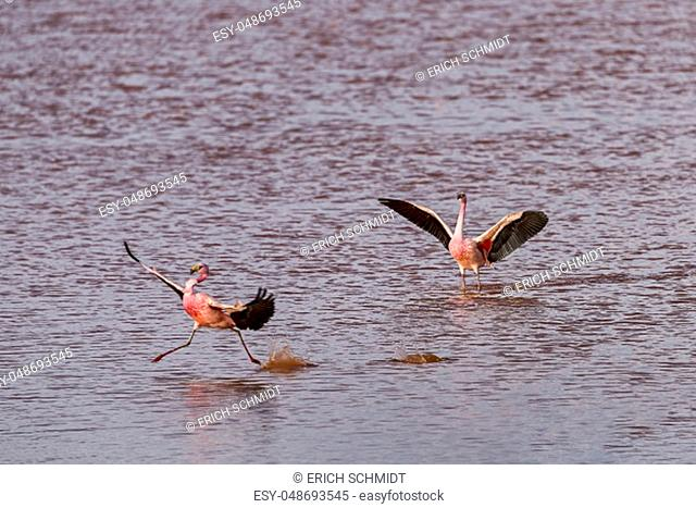 Andean Flamingos (Phoenicoparrus andinus) in Laguna Colorada, Evening light, 4, 304 m height, border with Chile, Andes, Altiplano