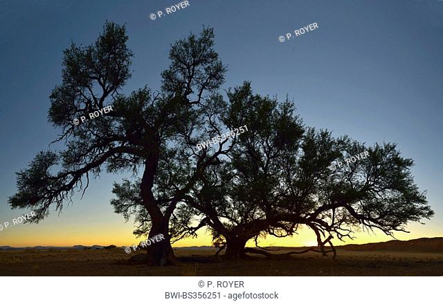 camel thorn, giraffe thorn (Acacia erioloba), in the evening, Namibia, Namib Naukluft National Park