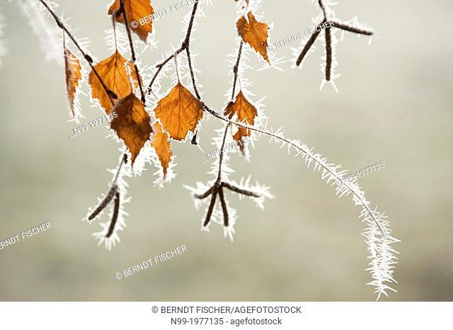 Leaves of a Birch tree (Betula sp.) in hoar frost, Bavaria, Germany