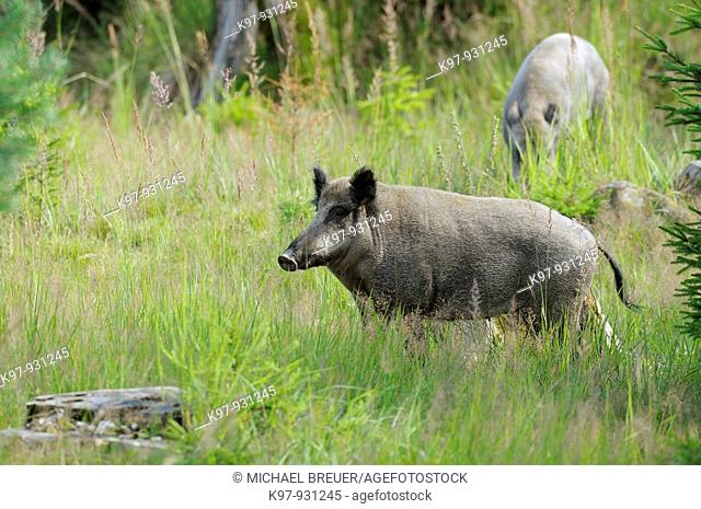 Wild boar in summer, Sus scrofa, Germany