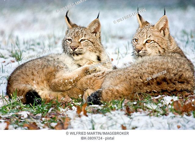 Two Eurasian Lynxes (Lynx lynx) lying in the snow, Hesse, Germany