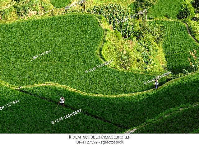 Kinsman of the Miao Minority working in the rice terraces of Xijiang, Guizhou, Southern China