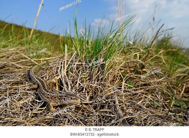 sand lizard (Lacerta agilis), female sand lizard in the Romanian steppe, perfectly camouflaged, Romania, Moldau, Iași
