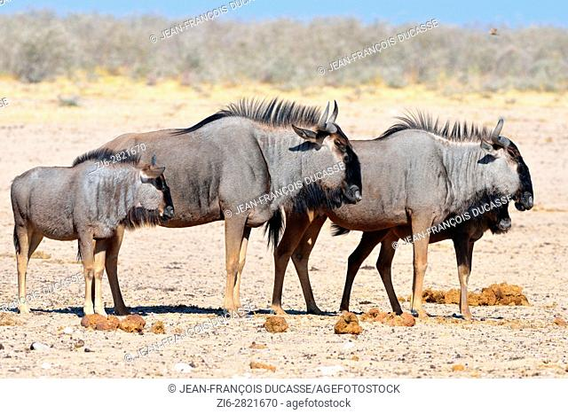Blue wildebeests (Connochaetes taurinus), two adults and two young standing on arid ground, Etosha National Park, Namibia, Africa