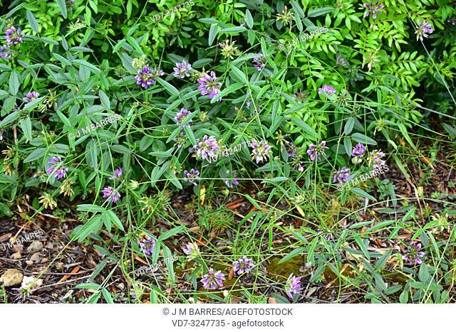 Arabian pea or pitch trefoil (Bituminaria bituminosa or Psoralea bituminosa) is a perennial herb native to Mediterranean Basin and western Asia