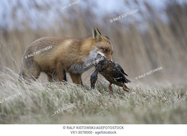Red Fox ( Vulpes vulpes ) hunting, with prey in its muzzle, grabbed, carrying a duck with / in its jaws, wildlife, Europe