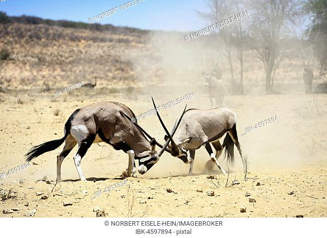 Fighting Gemsboks (Oryx gazella), Kgalagadi Transfrontier Park, North Cape, South Africa
