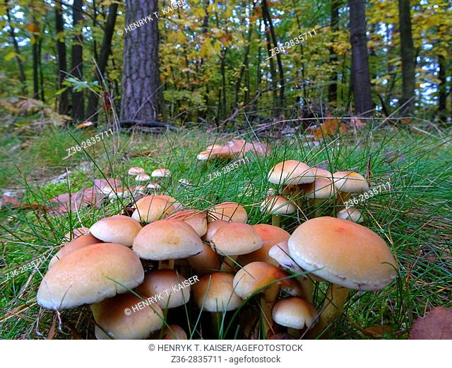 Wild mushroom at autumn in Lesser Poland