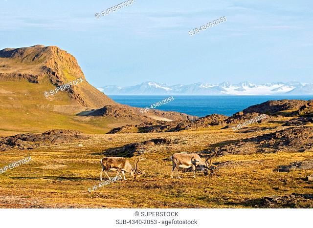 A pair of Svalbard reindeer Rangifer tarandus platyrhynchus a small subspecies of Rangifer tarandus, forage on the tundra, Sassenfjorden, Svalbard, Norway