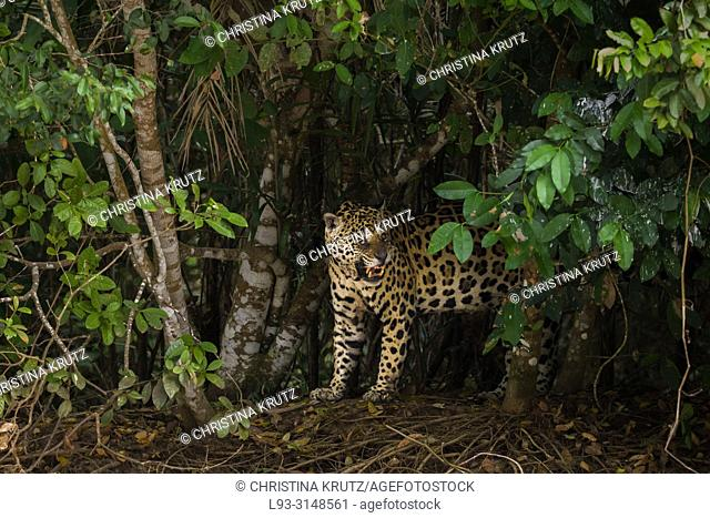 Snarling male Jaguar (Panthera onca), blind in one eye, Pantanal, Mato Grosso, Brazil