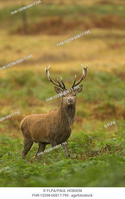 Red Deer Cervus elaphus stag, standing amongst bracken, during rutting season, Bradgate Park, Leicestershire, England, november