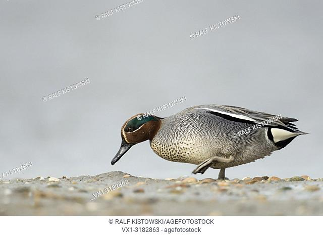 Teal ( Anas crecca ), male drake, in colourful breeding dress, walking along mudflats, searching for food