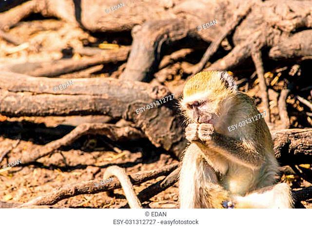 Vervet monkeys and branches, Chobe National Park