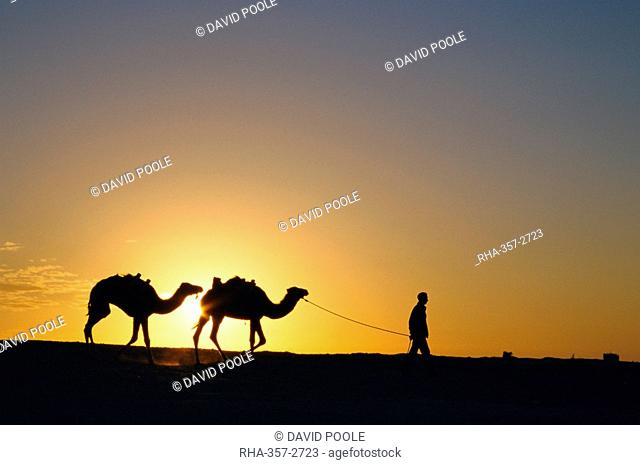 Camels and guide, Zaafrane, Tunisia, North Africa