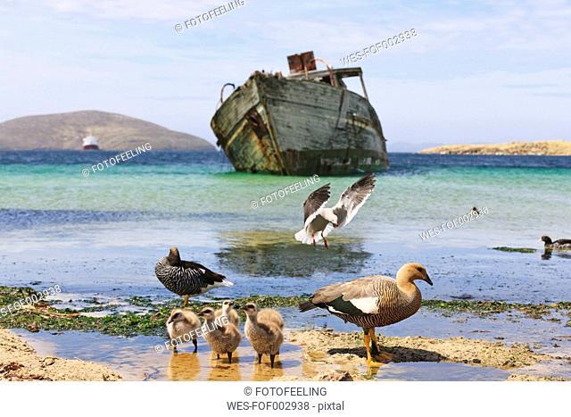 South Atlantic Ocean, Falklands, Falkland Islands, West Falkland, New Island, Upland goose with chicks on island