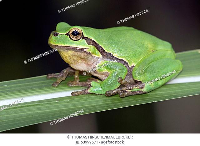 Tree Frog (Hyla arborea), Middle Elbe, Saxony-Anhalt, Germany