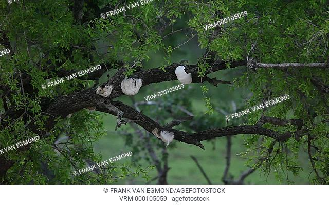 Nightly sounds including Tree Frogs at the Imfolozi's Bekaphanzi Pan, South Africa