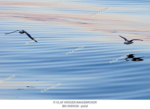 Northern Fulmars (Fulmaris glacialis) in flight, clouds and an evening sky reflected in the sea, Greenland