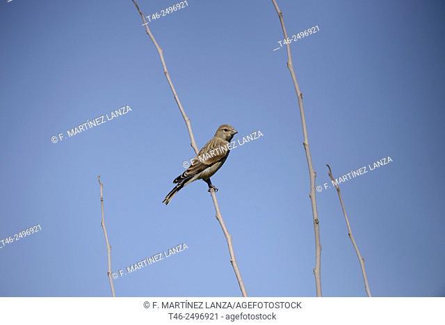 Linnet Carduelis cannabina. Guadarrama River Regional Park. Madrid
