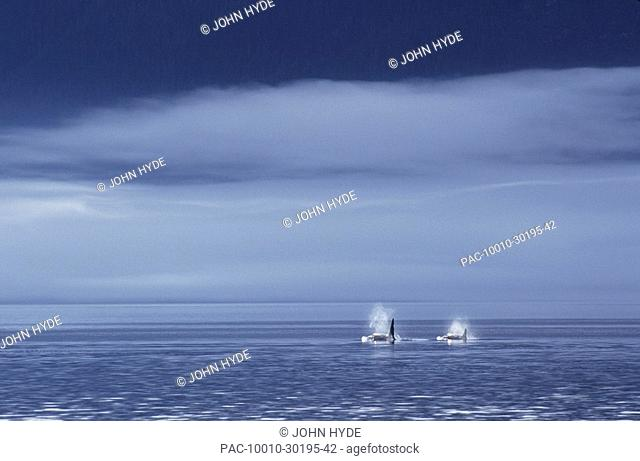 Canada, British Columbia, Johnstone Strait, Orca or Killer Whales Orcinus orca surfacing in calm water, Foggy sky