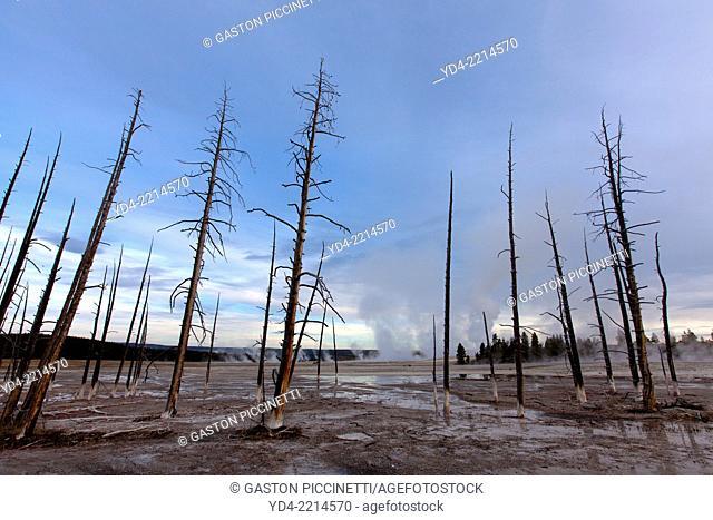 Lodgepole Pine (Pinus contorta), Yellowstone National Park, Wyoming, USA
