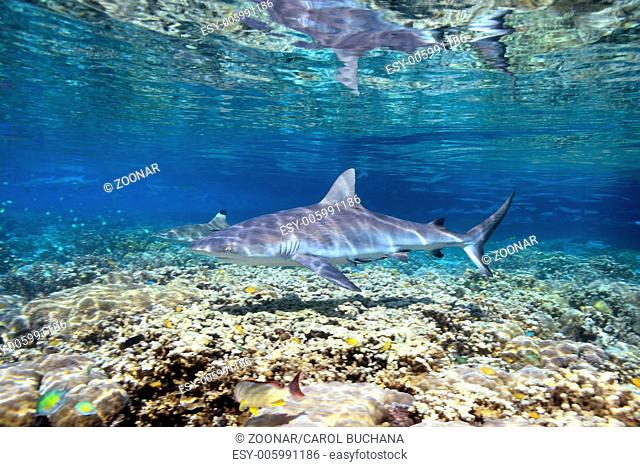 Shark swimming over shallow coral reef