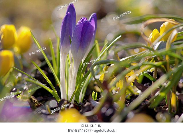 Early Crocus, Woodland crocus, Tomasini's crocus (Crocus tommasinianus), in bud in a meadow together with winter aconite