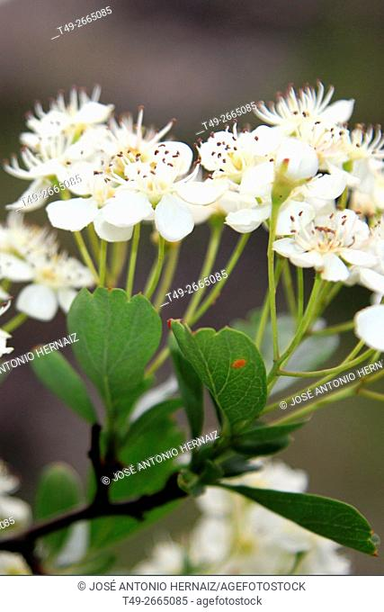 Flowers in spring Hawthorn (Crataegus monogyna)