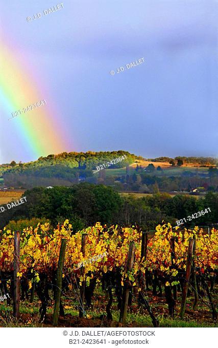 Vineyards in autumn by Castillon la Bataille, Gironde, Aquitaine, France