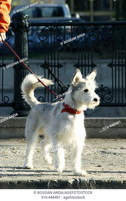 White pet dog during a walk - Dambovitza river bank, Bucharest, Romania
