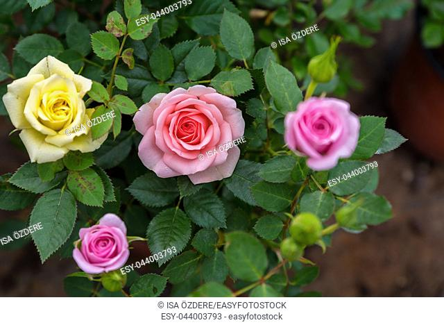 Top view of colorful small different color roses blooming in natural garden