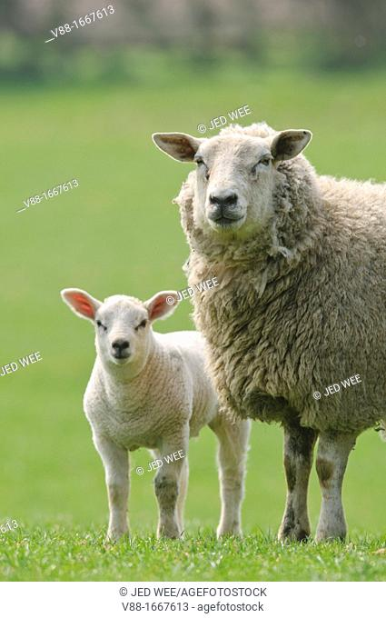 A mother ewe with her lamb, domestic sheep, Ovis aries in a field in North Yorkshire, England