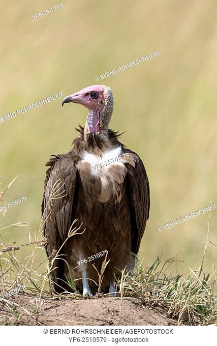 Hooded vulture (Necrosyrtes monachus) sitting on ground, Masai Mara, Kenya