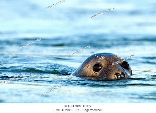 Netherlands, Grey seal (Halichoerus grypus)