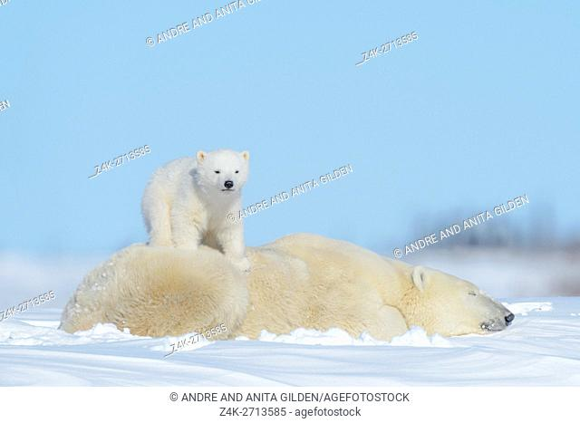 Polar bear mother (Ursus maritimus) lying down on tundra with new born cub standing on her back, Wapusk National Park, Manitoba, Canada