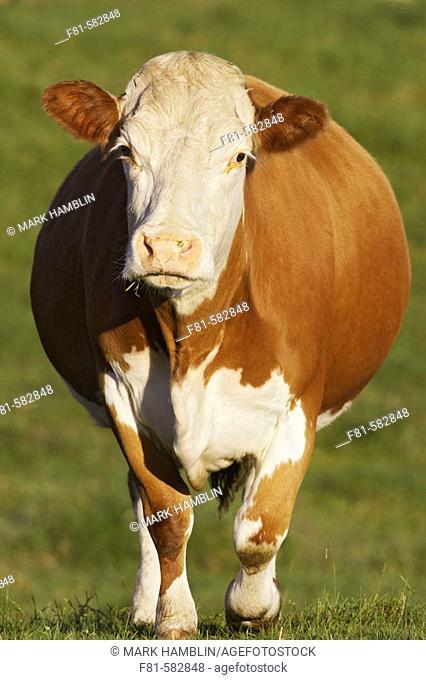 Cow, portrait of pregnant female. Scotland