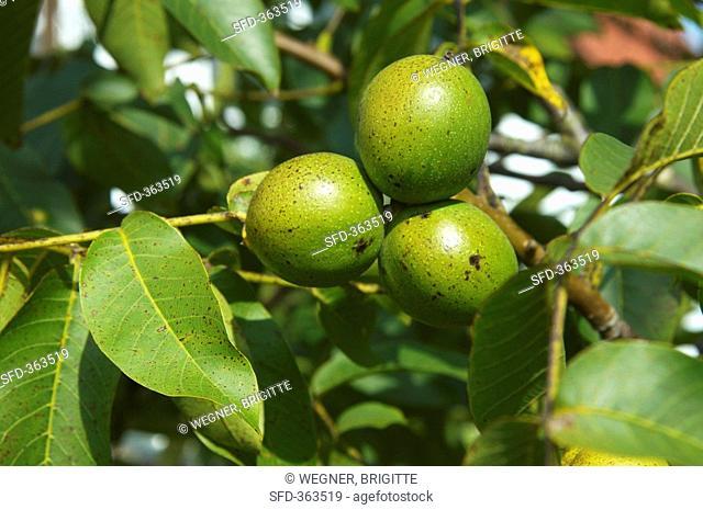 Sunlit walnuts on the tree
