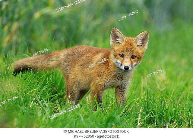 Red fox, Cub, Vulpes vulpes, Germany